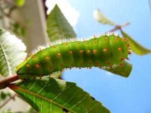 Lagarta verde e vermelho-6