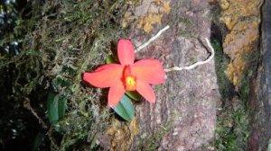 Orquídea - subida Caratubva