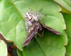 Aranha caçando-1