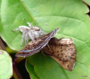 Aranha caçando-2