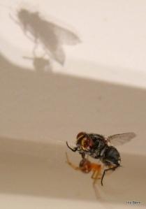 Aranha caçando e imobilizando a mosca..-5