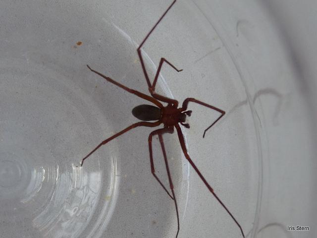 Acidentes com aranhas do gênero Loxosceles spp. em ...