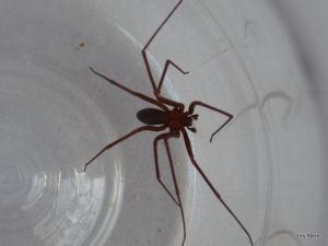 Aranha marrom-1