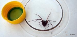 Aranha marrom-10