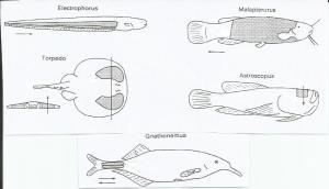 Localização dos órgãos elétricos em alguns dos peixes citados no texto. A seta indica o sentido da corrente. (fonte http://www.ghoselab.cmrr.umn.edu/Classes/3102/Aidley-The%20Electric%20Organs%20of%20Fishes.pdf)