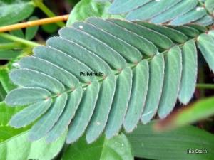 Na base dos folíolos, os púlvinulos são formados por células que perdem água rapidamente
