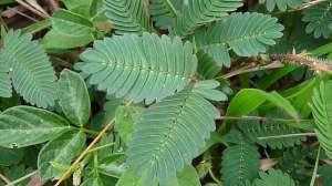 Mimosa pudica, com folhas divididas em folíolos.