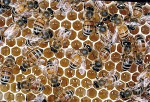 Os favos hexagonais armazenam o mel e abrigam as larvas em processo de crescimento.