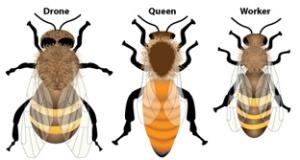 Zangão - rainha - operária