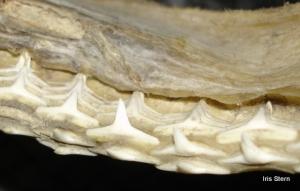 Dentes de tubarão.